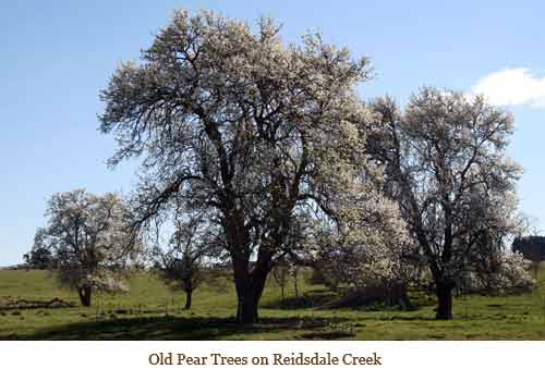 Pear Trees on Reidsdale Creek